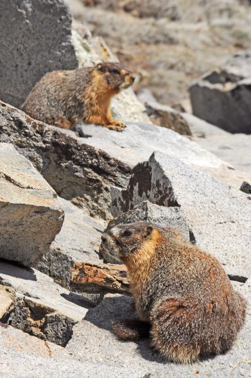 Marmots01W